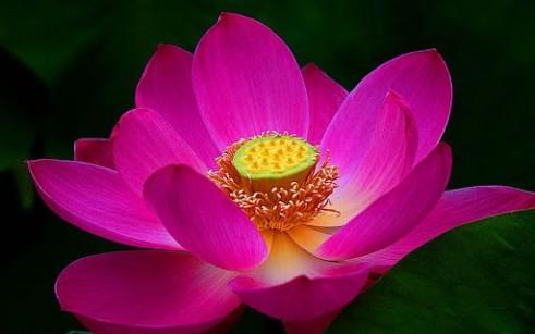tao-lotus